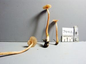 GMM7442