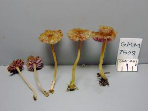 GMM7508